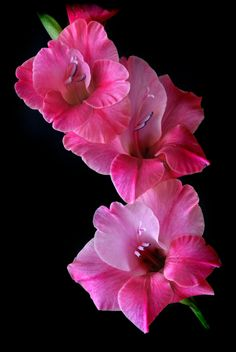 Gladiola Flowers by Nate A on 500px