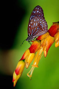 ~'Blue Tiger Butterfly (Tirumala hamata).' by Lonely Planet~