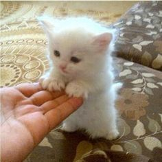 A tiny white kitten standing up and surrounded by a halo of light. Awwwwwmazing!