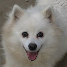 Meet Spice a Petfinder adoptable American Eskimo Dog Dog | Fresno, CA | My name is Spice! I can be a little shy if we don't know you, and sometimes if we don't realize you...