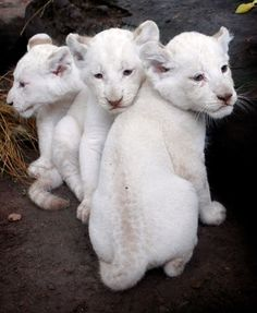 White Lion Cubs  Did you know? There are only 3 white lion prides left in the wild in the world. #PersonalLeadership #Women (FB'd)