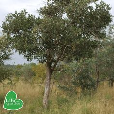 #Arborweek #treeoftheyear  Tree of the year 2: Apple leaf💚 As we celebrate the importance of our natural environment, here are few important facts about our tree of the year🌴.  Uses🤯: 1. The wood of P. violacea is often used to make carvings and tool handles as well as dugout canoes. 2. The tree is also used for traditional remedies where most parts of the tree are used for gastro-intestinal problems and powdered rootbark is used to treat colds and snake bites.  #HappyArborweek… Dugout Canoe, Life Isa, Important Facts, Canoes, Year 2, This Is Us, Snake, Remedies, Environment