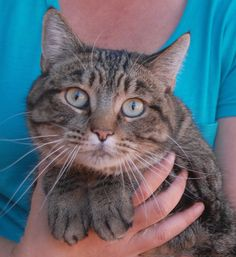 Breeze, very affectionate girl who purrs in your arms.  Triumphantly recovered from severe burns and ready for adoption at Nevada SPCA: http://nevadaspca.blogspot.com/2015/03/breeze.html