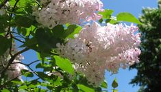 Never transplant a lilac when leafing out or in flower. Lilac Plant, Lilac Bushes, Syringa, Best Location, Amazing Flowers, Shrubs, Flower Pots, Landscape, Landscaping Ideas