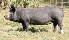 Berkshire Pig nice heritage breed that I've always wanted