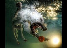 A Labrador Retriever pursues a ball under water. Credit: Seth Casteel, Tandemstock.com