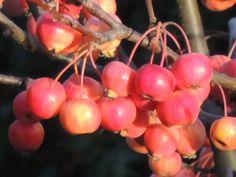 Schneewittchen Äpfel