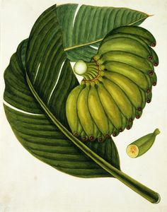 A large bunch of unripe green bananas. Watercolour. Guangzhou, China, c.1800.
