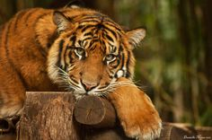 Tiger Cub - Lazy Afternoon by DanielleMiner