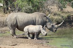 repeatedly to top up! There are 5 species of rhinoceros, White, Black, ...    crazycreatures.org