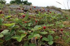 Maybe wild strawberries could grow on roofs? Alpine Strawberries, Goddess Of Love, Wild Edibles, Summer Feeling, Medicinal Plants, Wild Flowers, Natural Beauty, Flora, Scenery