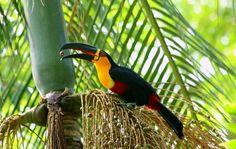 Foto tucano-de-bico-preto (Ramphastos vitellinus) por Leonardo Casadei | Wiki Aves - A Enciclopédia das Aves do Brasil