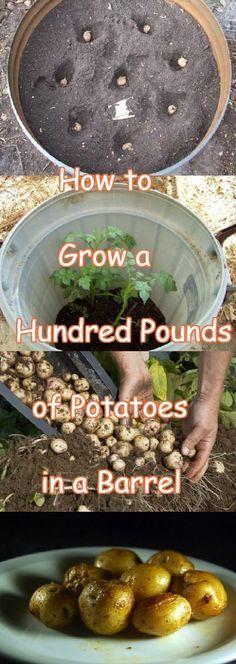 Grow 100 Pounds Of Potatos In A Barrell