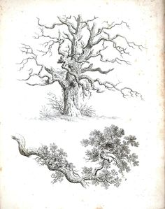 Botanical - Black and White - Tree sketches 4