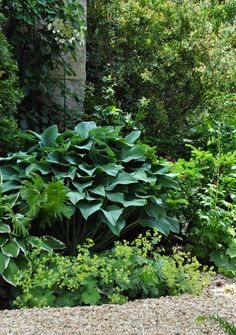 Peaking out from under this large hosta is Lady's Mantle, Alchemilla Mollis.