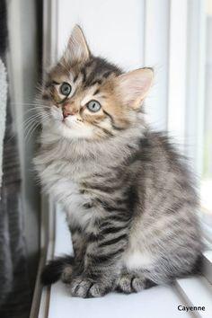 Siberian Kitty 7 weeks