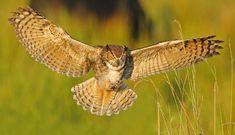great horned owl flying | Great Horned Owl Part 2 - Landing