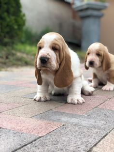 Basset Hound puppies for sale! Source by wuuff The post Basset Hound puppies for sale! appeared first on Sallie Graham Dogs. Basset Hound For Sale, Baby Basset Hound, Basset Puppies, Hound Puppies, Rottweiler Puppies, Baby Puppies, Cute Puppies, Cute Dogs, Dogs And Puppies