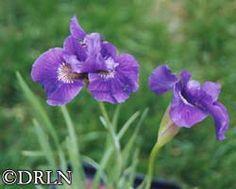 """Iris sibirica 'Ruffled Velvet', 28"""" tall, Zone 4, full sun."""