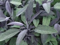 Evergreen in all but the hardest winters, both the green and purple forms of this low-growing shrub have strongly scented, downy leaves. Easy to grow in pots, pinch out the shoot tips to keep plants bushy.