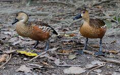 Dendrocygna_arcuata_-Australia_Zoo,_Queensland,_Australia-8a.jpg (3888×2461)