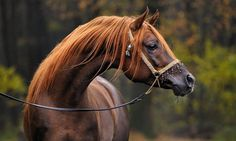 Femke Puijman my god, that color!! liver chestnut horse with sun bleached hair