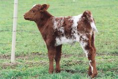 Shorthorns Herd Photos | Leveldale Farms of Mason City Illinois ...