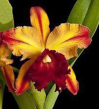 Cattleya - How to grow & care Unique Flowers, Exotic Flowers, Love Flowers, Beautiful Flowers, Flower Images, Flower Photos, Flower Art, Orquideas Cymbidium, Types Of Orchids