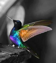 The gorgeous Humminbird:):)