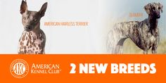Two New AKC Breeds Recognized: The Sloughi & American Hairless Terrier