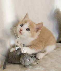 Looks like Ema Orange Kittens, Cute Cats And Kittens, I Love Cats, Crazy Cats, Cool Cats, Kittens Cutest, Kitty Cats, Baby Animals, Funny Animals
