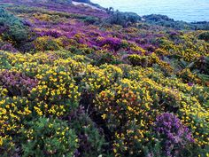 The blooming of Howth Head Co Dublin. Heather and the Gorse.