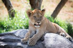 Lion Cub by StacyRae Photography