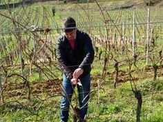 La taille et le tirage des baguettes de vigne - Journée Découverte Dmaine Stentz-Buecher #GourmetOdyssey
