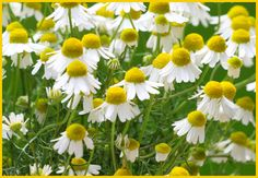 Chamomile - helps w/ anxiety, exhaustion and insomnia. Aids sleep, calming. Internally for colic, stomach and intestinal gas, irritable bowel syndrome, insomnia, motion sickness...