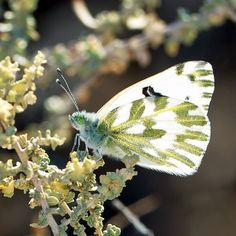 Becker's White photographed by Ken Wilson at Anza-Borrego Desert State Park Yaqui Wells in San Diego County California http://ift.tt/2gHau5a Scientific name: Pontia beckerii Family: Pieridae Subfamily: Pierinae #givingtuesday #butterflies #macro #flowers Help support NABA! Donate: http://ift.tt/2gTCPZ4 or Join: http://ift.tt/2gH5qy2
