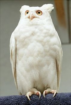 An albino Great Horned Owl, the only one known to exist, according to the World Bird Sanctuary.