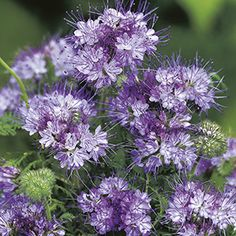 Phacelia tanacetifolia Purple Tansy : Egmont Seed Company Ltd, Online seed sales Tall Plants, Plants, Attract Butterflies, Flowering Shrubs, Wave Petunias, Buy Seeds, Flowers, Drought Tolerant Plants, Flower Seeds
