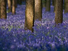 blue bells!! When I was little I lived next to beautiful woods where a carpet of blue bells arrived every spring. Magical.