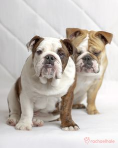 """Lola and Claude (British Bulldog) - """"We are smiling!""""  (pic by Rachael Hale)"""