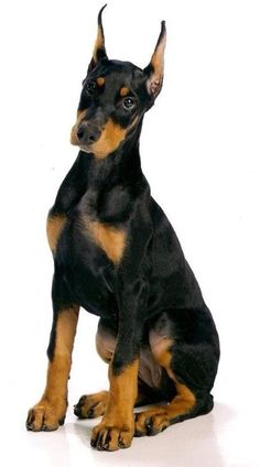 Doberman Pinscher Dog Breed Information Doberman Breed, Black Doberman, Doberman Pinscher Puppy, Doberman Love, Dobermans, Big Dogs, I Love Dogs, Cute Dogs, Dogs And Puppies