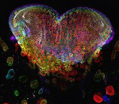 Oeil d'une larve de mouche (Drosophila melanogaster), grossi 60 fois au microscope - Beautiful Science #2 : 50 images scientifiques extraordinaires, le voyage continue ! ~ Sweet Random Science