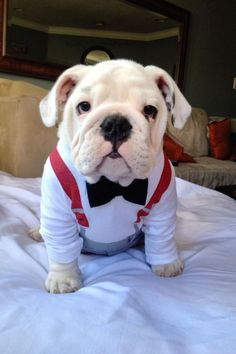 English Bulldog puppy. Cutest thing ever. as my personal, I think he dressing seem like want to party