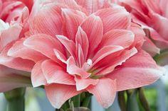 アマリリス 八重咲き 複色
