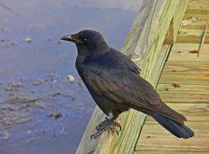 Fish Crow (Corvus ossifragus) Fish Crow on the boardwalk