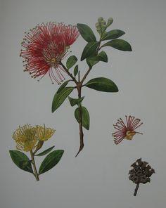 Metrosideros excelsa, Pohutukawa, New Zealand Christmas Tree Rose Tattoos, Flower Tattoos, Key Tattoos, Butterfly Tattoos, Skull Tattoos, Botanical Drawings, Botanical Art, Wedding Card Design Indian, Secret Tattoo