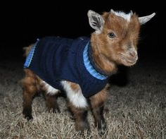 Goat in a sweater.  Nuff said.