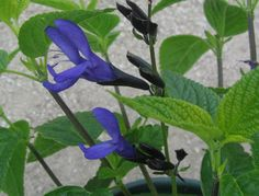"""""""Black and blue"""" Salvia guarantica.  Perennial, evergreen. Sun or part shade. Blue flowers with black calyxes summer-fall.  3' x 3'. Moderate water."""