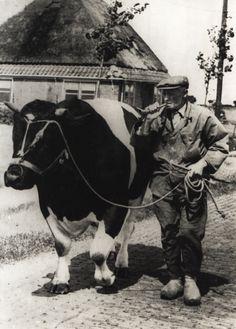 Een #bulloper. Hij ging met de stier langs boerderijen waar een koe gedekt moest worden.  www.vivier.nl