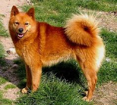 Medium-Sized Dog Breeds: Finnish Spitz Picture